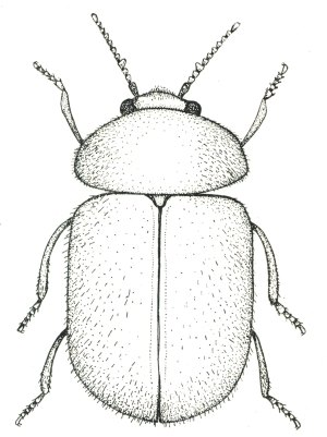 Lasioderma001