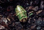 Quetzel chafer ouch2small