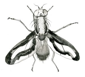 Toxoneura muliebris, pen and ink, by Verity Ure-Jones.