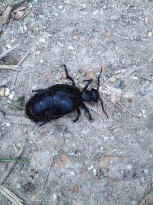 Definitely also the ungainliest insect I have ever seen — a female black oil beetle, Meloe proscarabaeus.