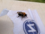 First aid for a tired bee; Bombus hypnorum takes a sip of sugar water,