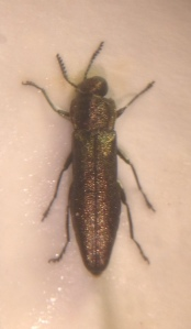 Agrilus laticornis, confirmed by examination of the shape of the prosternal plate behind the front coxae.