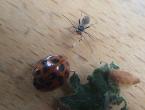 The ladybird survived for just one more day, but the adult wasp emerged after a fortnight.