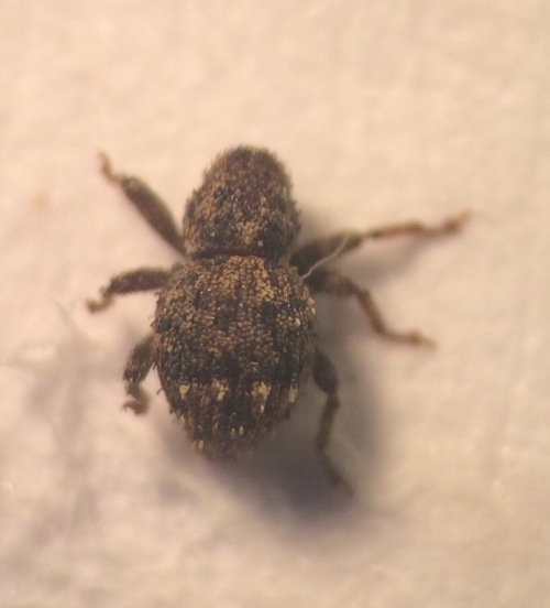 A tiny weevil, Acalles misellus; not necessarily scarce, but secretive, and new to me. A 'dead hedge' species, declining in an age when dead hedges are