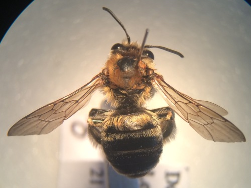 Female of Eucera longicornis. A more obviously long-horned male turned up further down the railway line, at Hither Green, in 2008. Good to know there are established colonies in this area.