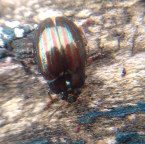 A pretty rubbish picture of Chrysolina americana, the rosemary beetle, but clearly showing the metallic red and green stripes.